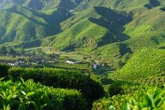 Tea Plantation Cameron Valley Stock Image