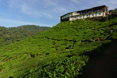 Tea Plantation Cameron Valley Royalty Free Stock Images