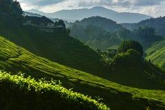 Tea Plantation Cameron Valley Royalty Free Stock Photos