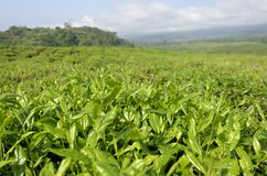 Tea Plantation Cameroon Stock Images