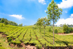 Tea Plantation in the Cardamam mountains, India Stock Images