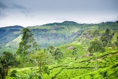 Tea plantation at Ceylon stock photography