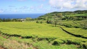 Tea plantation at Cha Gorreana, Maia, San Miguel, Azores stock video footage