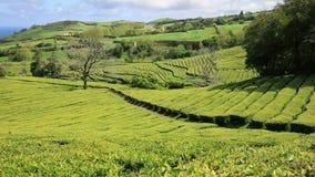 Tea plantation at Cha Gorreana, Maia, San Miguel, Azores stock footage
