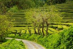 Tea Plantation at Cha Gorreana on Sao Miguel Island Stock Photography
