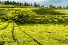 Tea Plantation at Cha Gorreana on Sao Miguel Island Royalty Free Stock Photography