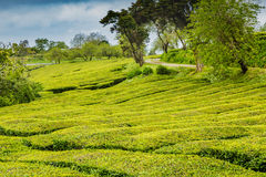 Tea Plantation at Cha Gorreana on Sao Miguel Island Stock Images