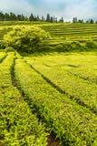 Tea Plantation at Cha Gorreana on Sao Miguel Island Royalty Free Stock Images