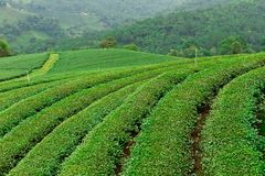 Tea plantation in Chiang Rai, Thailand Stock Image