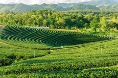 Tea plantation Chiang Rai, Thailand Royalty Free Stock Images