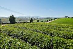 Tea plantation in Chiang rai, Thailand Royalty Free Stock Photography