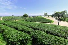Tea plantation in Chiang rai, Thailand Stock Image