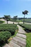 Tea plantation in Chiang rai, Thailand Royalty Free Stock Photo