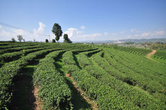 Tea plantation in chiangrai thailand. Tea garden in chiangrai  north of thailand Stock Photo