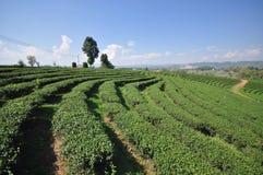 Tea plantation in chiangrai thailand Stock Photo