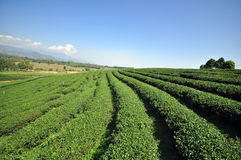 Tea plantation in chiangrai thailand. Tea garden in chiangrai  north of thailand Stock Photography