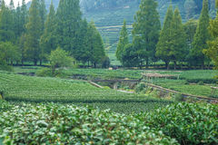 Tea plantation in China. 2016 royalty free stock photos