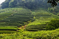 Tea plantation in China Stock Photos