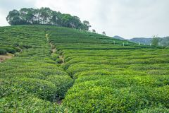 Tea plantation in China. Royalty Free Stock Images