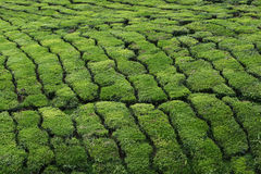 Tea Plantation - Close Up. This is a close up of a tea plantation in Malaysia, Asia. Here you can see the pattern created by such plantations. Tea trees are stock image