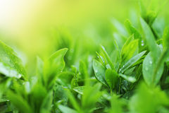 Tea plantation close up background Stock Photos