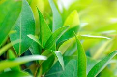 Tea plantation close up. Leaves on tea bush close up. Empty space for text. Copy space. Natural fresh green background royalty free stock photography