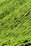 Tea plantation closeup Royalty Free Stock Image