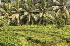 Tea plantation and coconut palm tree Stock Image
