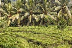 Tea plantation and coconut palm tree Stock Image