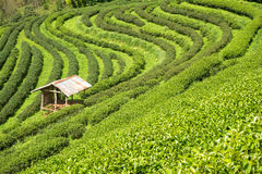 Tea plantation with cottage landscape. Stock Photo