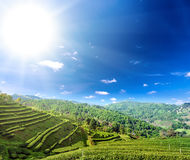 Tea plantation cultivation in northern Thailand highland hills Royalty Free Stock Photography