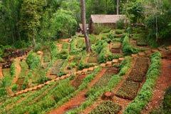 Tea Plantation. A tea plantation in the deep of mountain, Thailand Stock Photos