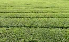 Tea plantation detail Royalty Free Stock Image