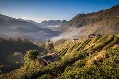 Tea Plantation. At Doi Ang Khang ,Chiang Mai ,Thailand Stock Images