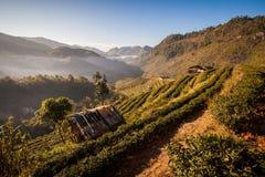 Tea Plantation. At Doi Ang Khang ,Chiang Mai ,Thailand Stock Photography