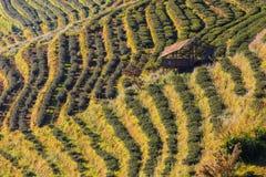 Tea Plantation. At Doi Ang Khang ,Chiang Mai ,Thailand Stock Image