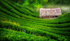 Tea plantation. In the Doi Ang Khang, Chiang Mai, Thailand Stock Photo