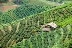 Tea plantation in the Doi Ang Khang, Chiang Mai, Thailand Royalty Free Stock Photos