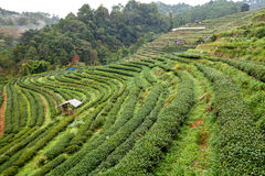 Tea plantation in the Doi Ang Khang, Chiang Mai, Thailand Stock Photos