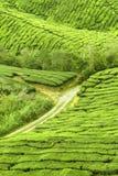 Tea plantation farm. Path to the tea farm serounded by greenish tea plant Stock Image