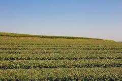 Tea plantation in farm. Stock Photos