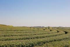 Tea plantation in farm. Royalty Free Stock Image