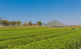Tea plantation in farm in daylight time have blue sky Royalty Free Stock Images
