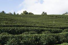 Tea plantation farm Stock Image