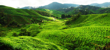 Tea Plantation Field Royalty Free Stock Images