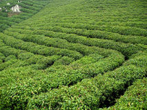 Tea Plantation field Stock Photos