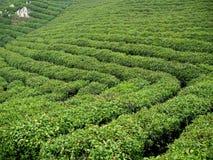 Tea Plantation field. On a hillside. xinyang. china Stock Photos