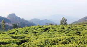 Tea plantation field landscape Stock Image