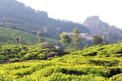 Tea plantation field landscape Royalty Free Stock Photos