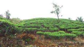 Tea plantation field on Sri Lank stock video